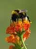 Bumblebee on Lantana camara