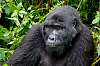 The Silverback - Mountain Gorilla