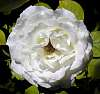 Another White Christmas Rose.......