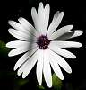 Big White Daisy........