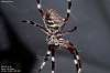 Another Orb Weaver