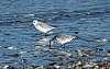 speedy sanderlings...