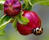 Friend of the Pomegranate.........
