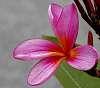 Pink Frangipani blossom..........