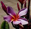 Another Pink Frangipani.....