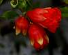 3 Budding Pomegranates.....