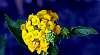 Yellow Lantana.......