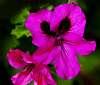 Hot Pink Patterned Geraniums......
