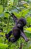 2 Pics: Mountain Gorillas in Uganda