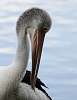 Why Pelicans Have Long Necks