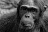Chimpanzee in the Wild