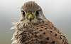 portrait of a kestrel