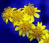 Yellow Smokebush flowers......