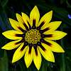 Rich Yellow Gazania.........