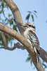 Kookaburra in Gum Tree
