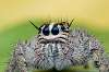 World's Cutest Jumping Spider!