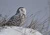 Snow bird...