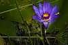 Lotus flower!
