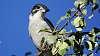 Female Grey Butcherbird