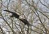 Flight show - Bald Eagle