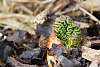 Budding rhubarb or a small green brain?