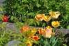 Tulips n stuff