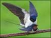 mating barnswallows