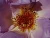 Stamen Cluster.......