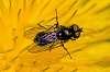Tiny fly on dandelion