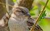 Sparrow Shots.
