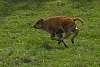 Frolicking Bison Calf