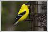 2015-05-16-Mr-and-Mrs-Goldfinch