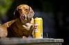 our dachshund is a boozehound!