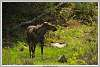 A_Photographing_Moose_Kind_of_DAY