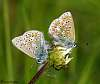 British butterflies