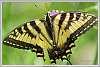 2015-06-09-swallowtail