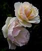 Twin pale Peach.......