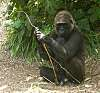 Gorillas [8 IMG]