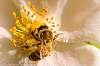 Honeybee taken with kitlens