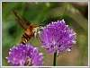 Hummingbird-moth