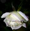 White Painted Rose.........