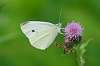 Cabbage white butterfly and (need insect ID)