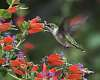 Ruby-throated Hummingbirds, blooms and other things...