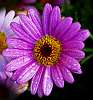 Small Purple Daisy...........