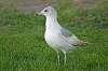 Alert Seagull