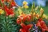 4th of July Daylilies