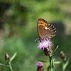 Butterfly identification. Almost an Arran Brown.