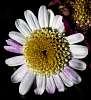 Micro Daisy........