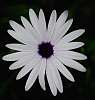 White Daisy on Canvas.........