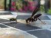 Wasp v. Fly